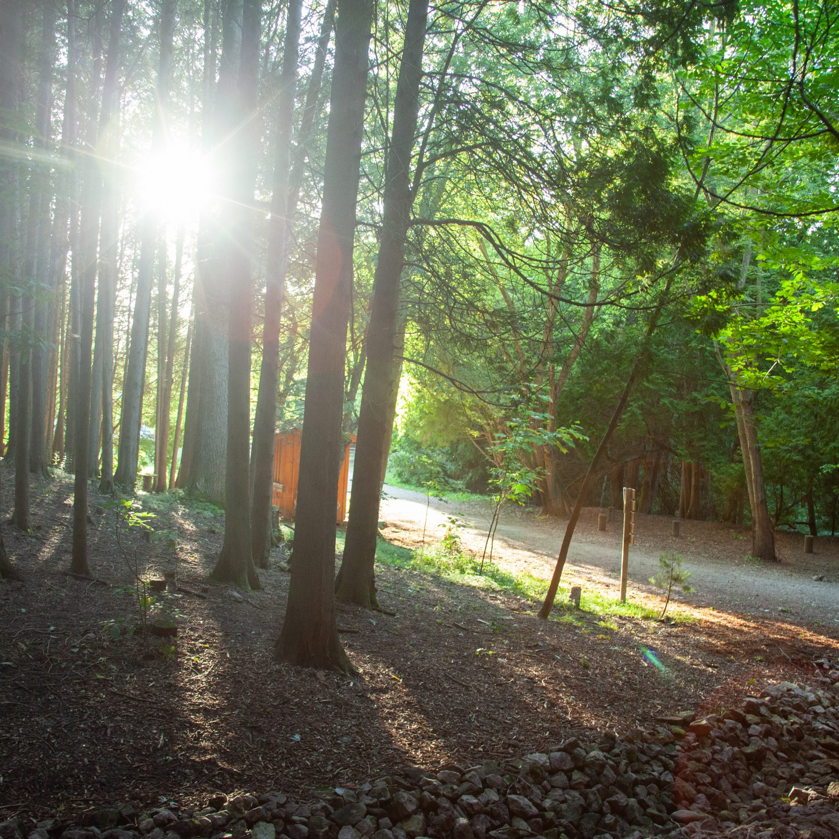 A scenic view of sun rays peaking through cedar trees by a gravel pathway.